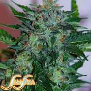 Samsara Seeds Flash Babylon Automatic