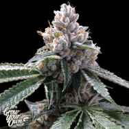 GYO by DNA Genetics Florida Lemon