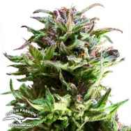 Dutch Passion Seeds Forest Dream