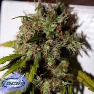 Flash Autoflowering Seeds Formula One