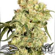 Dutch Passion Seeds Freddy's Best