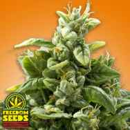 Freedom Seeds Freedom Squeeze aka Cheese