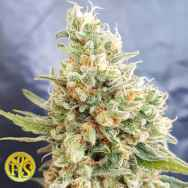 Freedom Of Seeds Crystal Dwarf Autoflowering