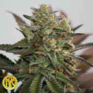 Freedom of Seeds Diesel Devil AUTO