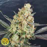 Freedom Of Seeds Doctor Kush