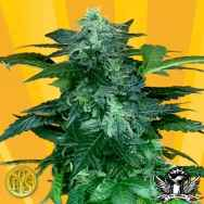 Freedom of Seeds Pixie Punch Autoflowering