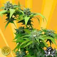 Freedom Of Seeds Stilton Breath AKA Cheesedom