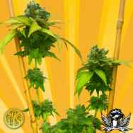 Freedom Of Seeds Little Stilton AUTOFLOWERING