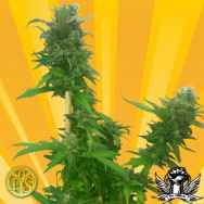 Freedom of Seeds Guerrilla Ryder Autoflowering