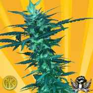 Freedom of Seeds Short Nepali Autoflowering