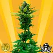 Freedom of Seeds White Goblin Autoflowering