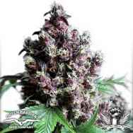 Dutch Passion Seeds Frisian Duck