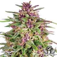 Dutch Passion Seeds Frisian Dew