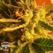 Hazeman Seeds Frosted Flakes