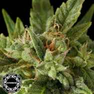 Dinafem Seeds Fruit AUTOMATIC