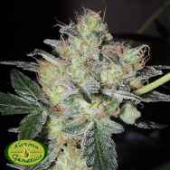Karma Genetics Seeds FruitBowl