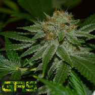 Garden Ablaze Seeds (GAS) Fruitcake