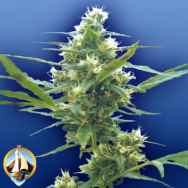 Flying Dutchmen Seeds Fumar Con Dios