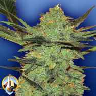 Flying Dutchmen Seeds G Force