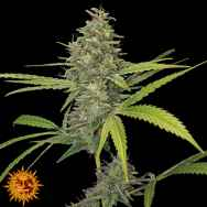 Barneys Farm Seeds G13 Haze