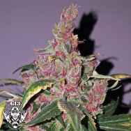 G13 Labs Seeds Purple Haze