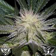 G13 Labs Seeds Sour AK