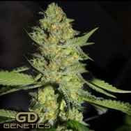 Green Devil Seeds GD Town