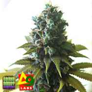Delta9 Labs x Grand Daddy Genetics Seeds GDP x Southen Lights