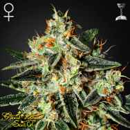 Green House Seeds GH Cheese