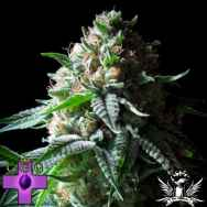 Gage Green Seeds Bianca Fire