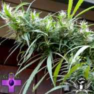 Gage Green Seeds Colombian Black