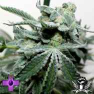 Gage Green Seeds Grape Stomper BX2