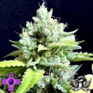 Gage Green Seeds Lemon Puff
