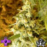 Gage Green Seeds Lemon Stomper