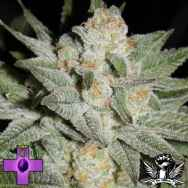 Gage Green Seeds Grape Puff