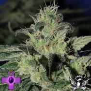 Gage Green Seeds Grateful Chem