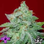 Gage Green Seeds Starlet Kush