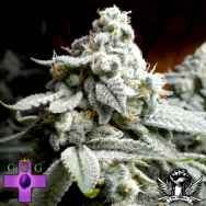 Gage Green Seeds Grape Stomper (aka sour grapes) BX