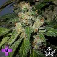 Gage Green Seeds Blanco Berry Kush