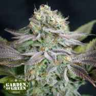 Garden of Green Seeds Blue Dream