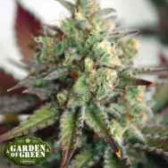 Garden of Green Seeds Critical 2.0 XL AUTO