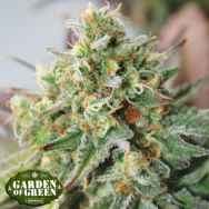 Garden of Green Seeds Critical XXL