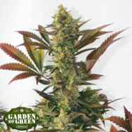 Garden of Green Seeds Larrys Lemon OG