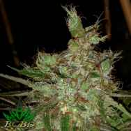BC Bud Depot Seeds Garlic Cheese