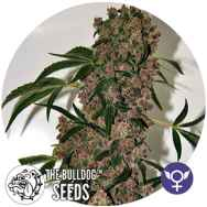 The Bulldog Seeds Girl Scout Cookies XTRM