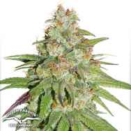 Dutch Passion Seeds Glueberry O.G.