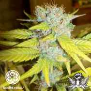 Bodhi Seeds Gold Star
