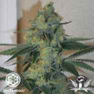 Bodhi Seeds Golden Triangle
