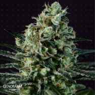 Genofarm Seeds GoldenBerry
