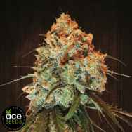 ACE Seeds Golden Tiger